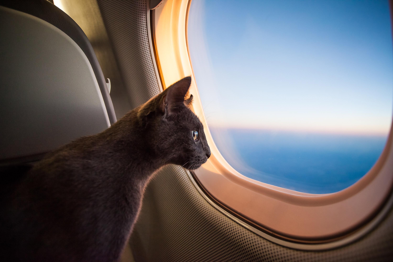 Tout savoir d'un voyage en avion avec des animaux de compagnie